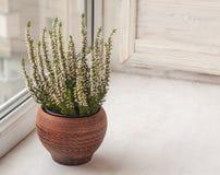 Bruyère blanche dans un pot en céramique image libre de droits
