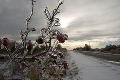 Bruyère couverte en glace Photos stock