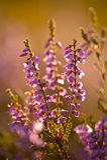 Bruyère de floraison Photographie stock libre de droits