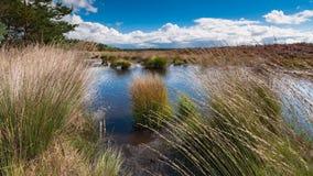Bruyère de floraison le long d'un lac aux Pays-Bas un jour ensoleillé Image libre de droits