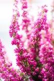 Bruyère gracilis d'hiver de Bruyère dans la pleine fleur, plan rapproché image stock