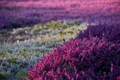 bruyère lilas Photo libre de droits