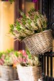 Bruyère rose et pourpre dans le pot de fleur décoratif Photo libre de droits