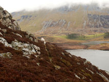 Bruyère sur la montagne, snowdonia, Pays de Galles, R-U Image libre de droits