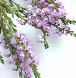 Bruyère violette. Photo stock