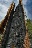 Bry сгорело дерево смотрит вверх Стоковые Фотографии RF