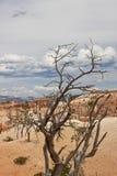 bryce峡谷停止的小的结构树 免版税库存照片