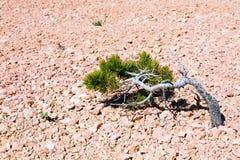 bryce峡谷孤立结构树 图库摄影
