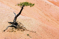 bryce峡谷孤立结构树 免版税库存图片