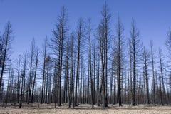 bryce被烧的峡谷森林 免版税库存照片