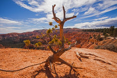 Bryce Bristlecone Pine Royalty-vrije Stock Fotografie