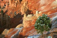 Bryce Canyon. Small Evergreen Tree in Bryce Canyon National Park, Utah, USA Royalty Free Stock Photography