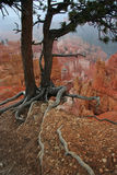 Bryce Canyon. A Tree & Roots on the Edge of Bryce Canyon National Park, Utah, USA Royalty Free Stock Photo