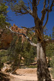 Bryce Canyon. A dead tree along the Navajo Trail at Bryce Canyon Stock Photography