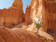 Bryce Canyon along Peekaboo trail. A bristlecone pine tree growing along the Peekaboo trail at Bryce canyon Royalty Free Stock Photos