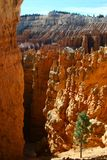 Bryce Canyon com uma árvore no primeiro plano Imagens de Stock Royalty Free