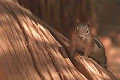 Bryce Canyon Critter Fotografía de archivo
