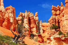 Free Bryce Canyon National Park, Utah, USA - Juniper Trees, Bristlecone Pines And Hoodoos In Queen`s Garden Stock Photography - 129002932