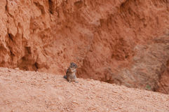 Bryce Canyon National Park Wildlife Squirrel. Or Chipmunk on the trail Stock Photo