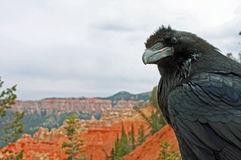 Bryce Canyon Raven Royalty Free Stock Images