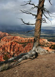 Bryce Canyon Tree. A dead tree on the edge of Bryce Canyon National Park, Utah, USA Stock Image