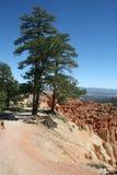 Bryce Canyon Tree Royalty Free Stock Photo