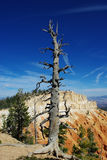 Bryce impression, Utah. Dry tree over Bryce Canyon Stock Photography