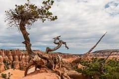 bryce jaru osamotniony drzewo Fotografia Royalty Free
