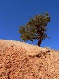 bryce jaru sosnowy sincgle target2131_1_ wysokiego drzewa Obraz Royalty Free