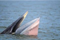 Bryde的鲸鱼,吃在海湾的伊甸园的鲸鱼鱼 库存图片