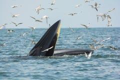 Bryde& x27; креветки звероловства кита s Стоковое Изображение RF