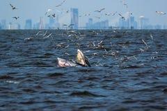 Bryde& x27; подавать кита s Стоковое Изображение