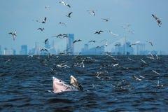 Bryde& x27; подавать кита s Стоковая Фотография