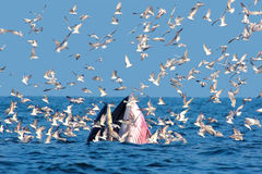Bryde och seagull Royaltyfri Foto