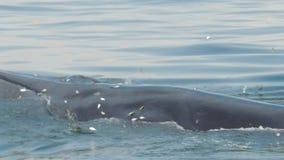 Bryde ` s鲸鱼在暹罗湾吃着 股票视频