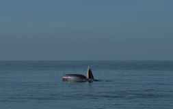 bryde s鲸鱼 图库摄影
