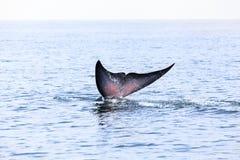 Bryde& x27; s-val, Eden& x27; s-val som äter fisken på golfen av Thailand Royaltyfria Foton
