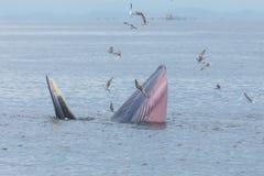 Bryde& x27; s-val, Eden& x27; s-val som matar den lilla fisken, val i golf av Royaltyfria Bilder