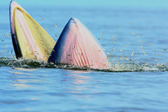Bryde's Whale. In the gulf of thailand Stock Images