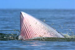 Bryde's Whale Stock Images