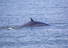 Bryde`s whale Balaenoptera brydei. Spotted outdoors stock photos