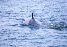 Bryde`s whale Balaenoptera brydei. Spotted outdoors royalty free stock photo