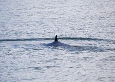 Bryde`s whale Balaenoptera brydei. Spotted outdoors royalty free stock photos
