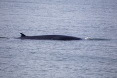 Bryde`s whale Balaenoptera brydei. Spotted outdoors stock photography