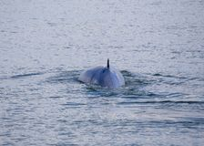 Bryde`s whale Balaenoptera brydei. Spotted outdoors stock images