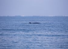 Bryde`s whale Balaenoptera brydei. Spotted outdoors royalty free stock image