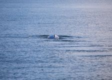Bryde`s whale Balaenoptera brydei. Spotted outdoors royalty free stock images