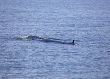 Bryde`s whale Balaenoptera brydei. Spotted outdoors royalty free stock photography