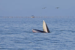 Bryde's Whale Balaenoptera edeni. Boat royalty free stock photos