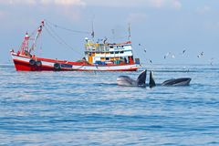 Bryde`s Whale Balaenoptera edeni and fishing boat in the sea. Bryde`s Whale and fishing boat in the sea stock photography